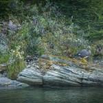 Ushuaia - Parque Nacional Tierra del Fuego - Pato no barranco mágico