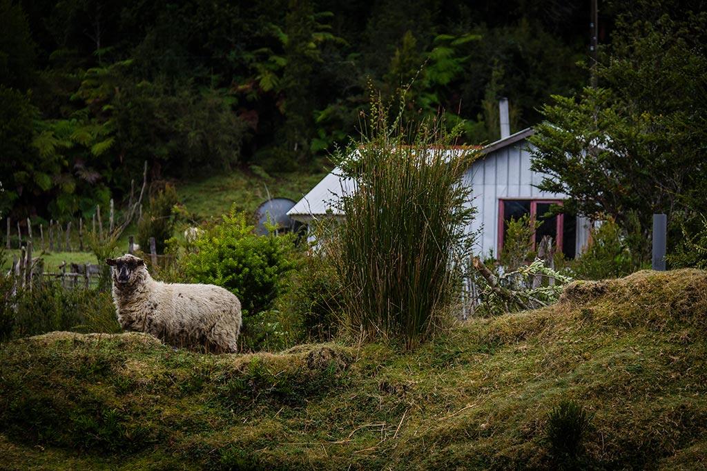 Isla de Chiloé - Parque Nacional Chiloé - Cucao - Ovelha e o verde