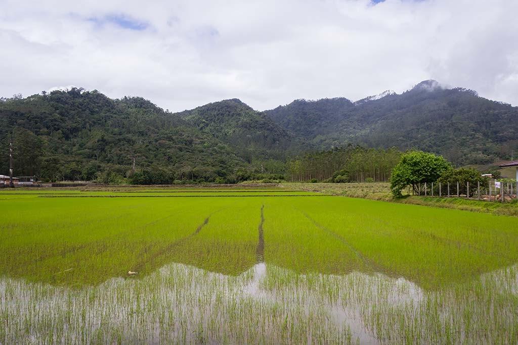 Circuito Vale Europeu - Dia 1 - Jaraguá do Sul - Plantação de arroz
