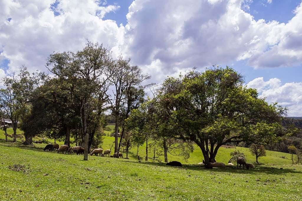 Circuito Vale Europeu - Dia 3 - Rio dos Cedros - Carneiros no pasto da cachoeira Gruta do Índio