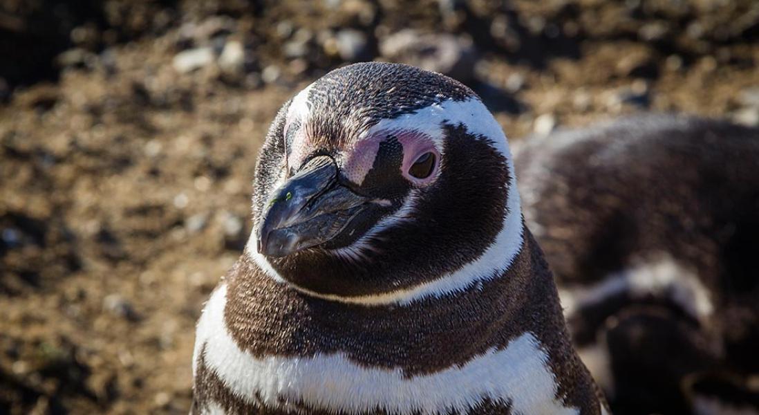Os pinguins de Magdalena